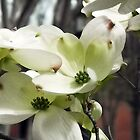 Dogwood Blossoms by debidabble