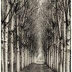 Paulownia Plantation at North Richmond NSW by Yvonne Jetson