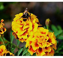 Bee on marigolds Photographic Print