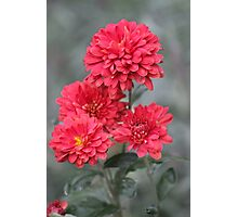 Red Dahlias Photographic Print