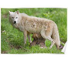 Arctic wolf feeding pups Poster