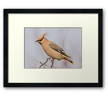 Waxwing Framed Print