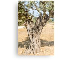 Israel Galilee Olive tree close up Metal Print