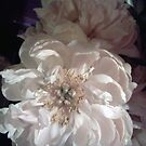 white peony by geot