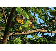 Green Parrot Eating Flowers Photographic Print