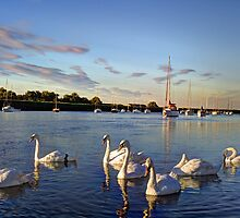 Graceful Swans by DavidHornchurch