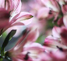Pink Blur by Rachel  Roderick