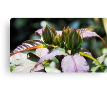 Hardy Hibiscus Midnight Marvel Catches the Light Canvas Print