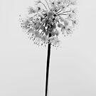 Nodding Onion - Allium cernuum by jules572