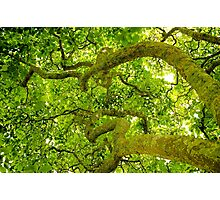 Canopy Photographic Print