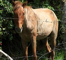 Brown Horse in a Fence by rhamm