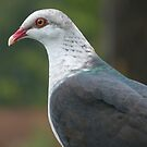 White-headed Pigeon by Trish Meyer