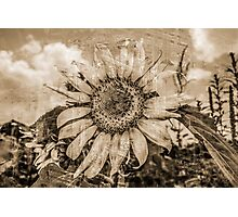 Yesteryear Sunflower Photographic Print