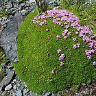 Alpine Rock Jasmine by Organicvision