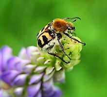 Bee Beetle on Lupinus by Jo Nijenhuis