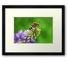 Bee Beetle on Lupinus Framed Print