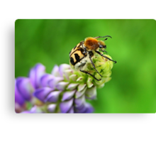 Bee Beetle on Lupinus Canvas Print