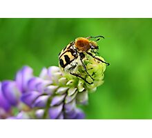 Bee Beetle on Lupinus Photographic Print