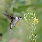 Ruby-throated hummingbird and yellow flowers by Linda Crockett