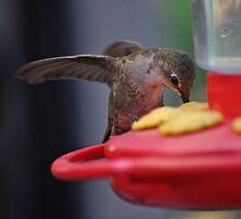 BABY ANNA'S HUMMINGBIRD AT FEEDER by JAYMILO