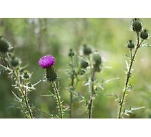 Thistles in Flower Photographic Print