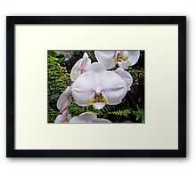Pale Pink Orchid Framed Print