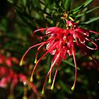 New Grevillea Leith Park Victoria Australia 20160615 7129 by Fred Mitchell