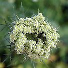 Wild Carrot by Linda  Makiej