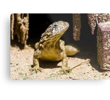 Northern Curly-Tailed Lizard Metal Print
