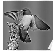Woodswallow in Black and White Poster