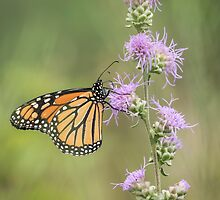 Fall Monarch 2016-1 by Thomas Young