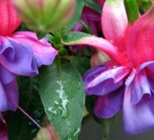 Raindrops on Fuchsia Bells and Buds - Framed Vignette Sticker