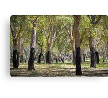 Cork Oaks of Canberra Canvas Print