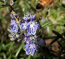 Rosemary and the bee by Duncan Cunningham