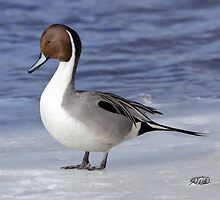 Northern Pintail by Todd Weeks