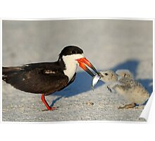 Black Skimmer 2:Mom and chick both have fish!  Poster