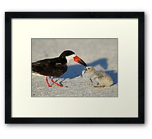 Black Skimmer 3:Successful transfer-Chick now has fish! Framed Print
