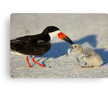 Black Skimmer 3:Successful transfer-Chick now has fish! Canvas Print