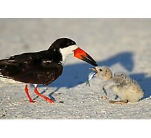 Black Skimmer 3:Successful transfer-Chick now has fish! Photographic Print