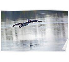 Australian Pelican in Flight Poster