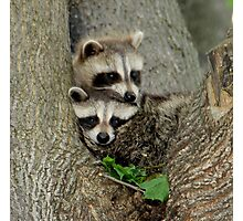 Baby Raccoons Taking a Look at the Outside World.  Photographic Print