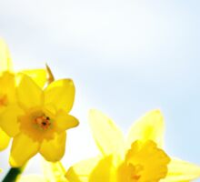 Yellow Spring Daffodils Sticker