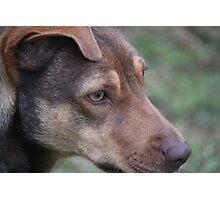 Bally: A Working Dog Photographic Print