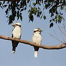 Kookaburras by Chris Cobern