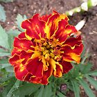 Flamboyant Marigold by BlueMoonRose