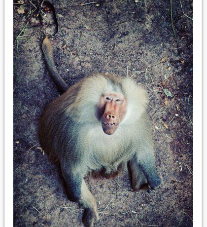 Male Hamadryas Baboon Sticker
