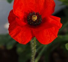 Poppy by Country  Pursuits