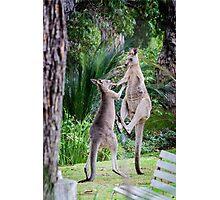 Male Kangaroos Fighting Photographic Print