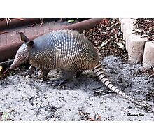 What's THIS in the Yard?  Helllloo, Armadillo!!   Photographic Print