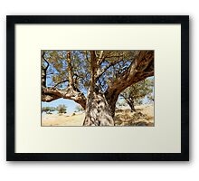 An old Olive tree Framed Print